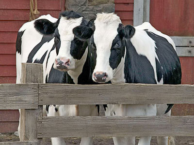 cows, isms, political isms,americana images